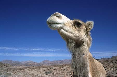 Jordan camel show desert track to aqaba